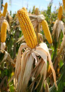 270220_corn